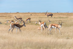 A group of Springboks. And Oryx in the Etosha national park in Namibia Stock Image