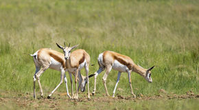 Group of Springbuck. Group of three Springbuck in a green field Stock Photography