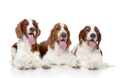 Group Springer Spaniel Stock Photos