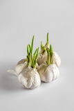 Group of sprouted garlic on a white background Stock Image
