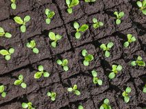 Small sprouts of lettuce. Group of sprouts of lettuce royalty free stock photo