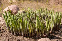 Group of sprouts shooting from dry soil. Thick group of green sprouts shooting from dry soil on a sunny springtime day Stock Photos