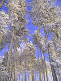 Group of spruce trees in winter. Standing in a snow country Stock Photography