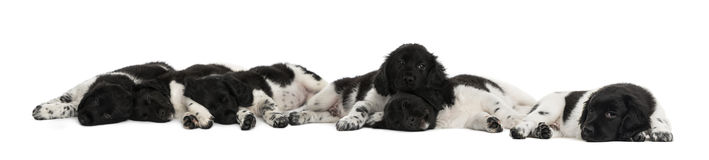 Group of Stabyhoun puppies lying and resting Stock Photography