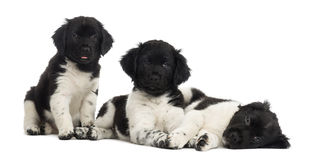 Group of Stabyhoun puppies in a row, isolated Stock Image