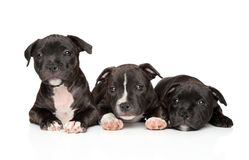 Group of Staffordshire bull terrier puppies stock photography