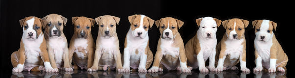 Group of staffordshire terrier puppies posing on black. Group of puppies sitting on black background stock photography