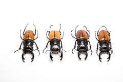 Group of Stag Beetle (Odontolabis mouhoti ) Male Stock Photos