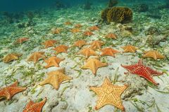 Group of starfish Cushion sea star on sea bottom Stock Photo