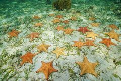 Group of starfish underwater on the seabed Royalty Free Stock Photo