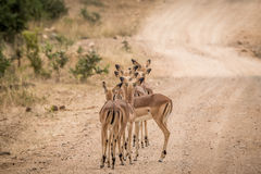 Group of starring female Impalas from behind in the middle of the road. Stock Photos