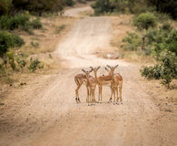 Group of starring female Impalas in the middle of the road. Royalty Free Stock Photos