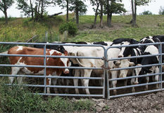 Group of Steer cows behind a gate. Brown, white, and black steer cows behind a metal gate Stock Photography