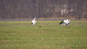 Group of stork. In a field stock footage