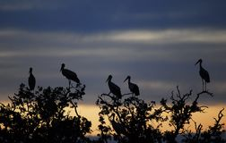 Group of storks Royalty Free Stock Image