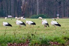 Storks in the meadow ... royalty free stock photos
