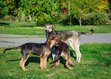 Group of stray dog playing with each other Stock Images