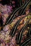 Group of striped catfish in Banda, Indonesia underwater photo Stock Photos