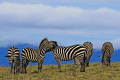 Group of Striped Zebras grazing early morning stock photos
