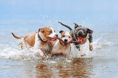 A group of strong American Staffordshire Terriers play in the water with a stick. royalty free stock image