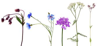 Group of studio isolated five wild flowers Royalty Free Stock Images