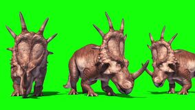 Group of Styracosaurus Triceratops Eat Dinosaurs Jurassic Green Screen
