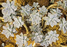 Group of succulent plants Royalty Free Stock Photos