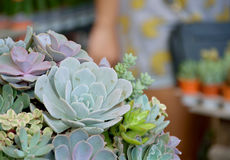 Group of Succulent Plants Royalty Free Stock Images