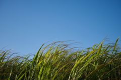 A Group of Sugar Canes 6. A field of sugar canes under a clear blue morning sky. 2 of 4 royalty free stock photos