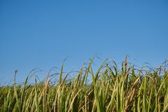 A Group of Sugar Canes 7. A field of sugar canes under a clear blue morning sky. 3 of 4 stock images