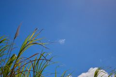 A Group of Sugar Canes 4. A group of sugar canes under a partly cloudy sky. 1 of 2 stock photos