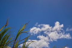 A Group of Sugar Canes 3. A group of sugar canes under a partly cloudy sky. 1 of 2 royalty free stock photo