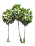 Group of sugar palm tree Royalty Free Stock Images