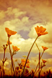 Group of Summer Buttercup Flowers Julian Bound Royalty Free Stock Images