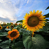 Group of Sunflowers Royalty Free Stock Photo