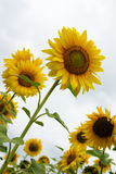Group of sunflowers Stock Images