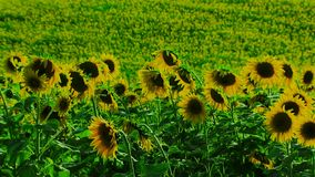 Group Of Sunflowers stock video footage