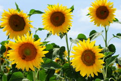 Group of sunflowers and honey bees Stock Photo