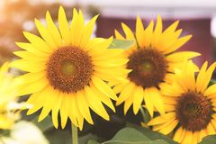 Group of Sunflowers in nature. Flower and flora concept.  Royalty Free Stock Image