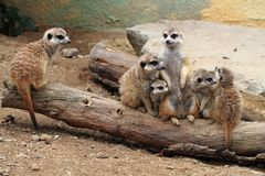 Group of suricata animals. As nice family photo Royalty Free Stock Photos