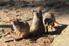 Group of suricata animals. As nice family photo Stock Images