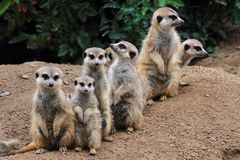 Group of suricata animals. As nice family photo Royalty Free Stock Photo