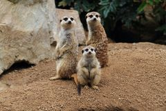 Group of suricata animals. As nice family photo Stock Photos
