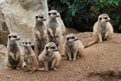 Group of suricata animals. As nice family photo Royalty Free Stock Photography
