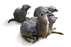 Group of suricate isolated on white Royalty Free Stock Photo