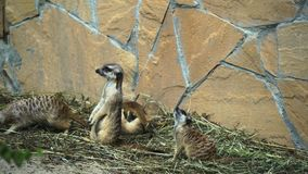 Group of suricates babies in zoo stock video footage