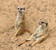 Group of suricates. Stock Photo
