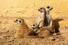 Group of suricates Royalty Free Stock Images