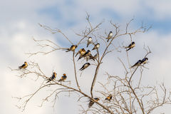 Group of  Swallows and Martins resting Stock Images