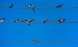 Group of swallows on wires Royalty Free Stock Images
